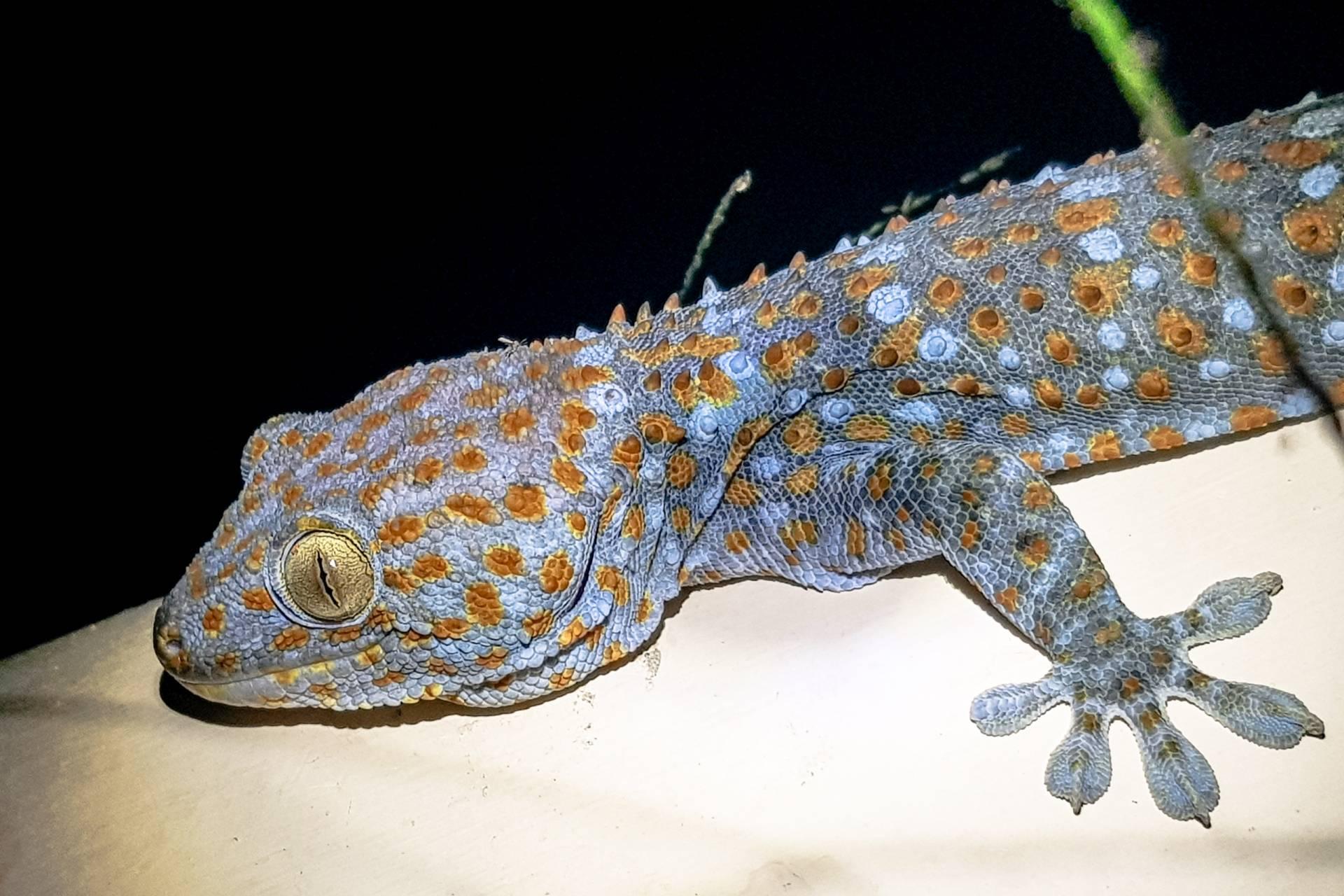thailand koh phangan gecko