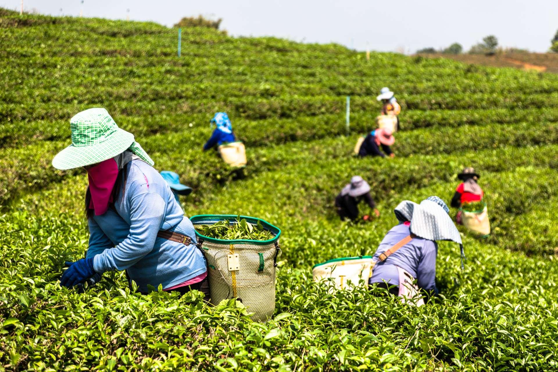 Thailand Chiang Rai Tea farm
