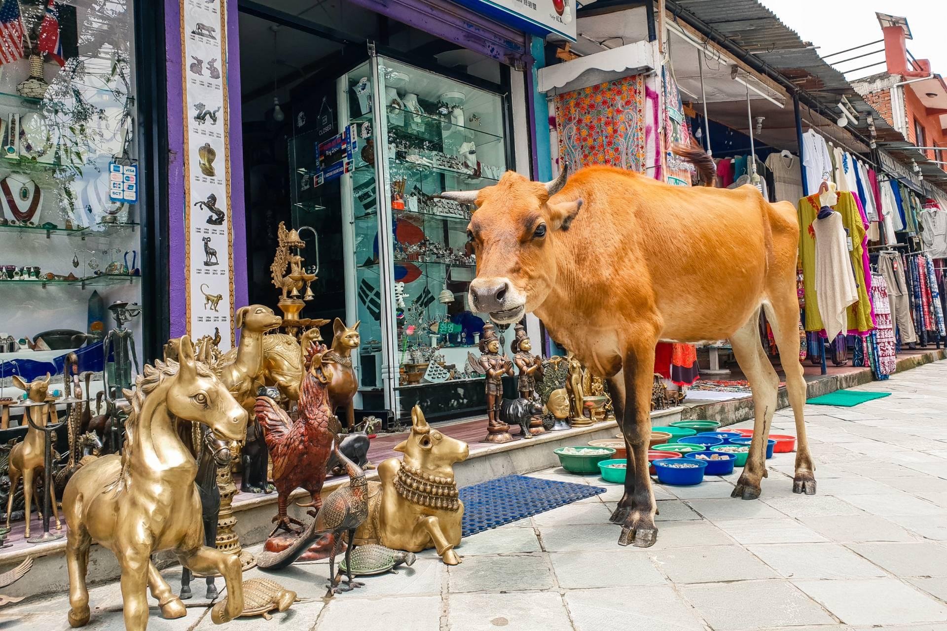 Nepal Pokhara cow