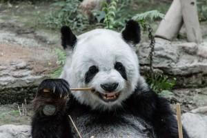 Thailand Chiang Mai Zoo Panda